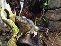 Borneo river toad.jpg