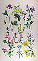 Botanischer Bilder-Atlas (1884)—Plate 15.jpg