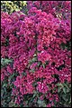 Bougainvillea on banks Brisbane River-2 (20006748748).jpg