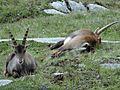 Bouquetins près du col de la Vanoise, 2014 (59).jpg