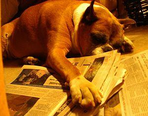 Boxer sleeping