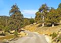 Boylu Ardıç - Juniperus excelsa.jpg