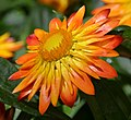 Bracteantha bracteata 'Flobrafla' Flower Closeup.JPG