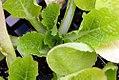Brassica oleracea Rubicon 0zz.jpg