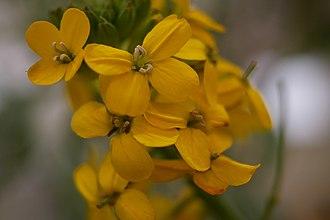Brassicaceae - Image: Brassicaceae Coast Sand Loving wallflower erysimum ammophilum