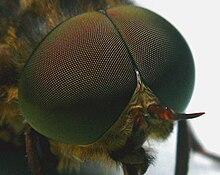 Facettenauge der Fliege