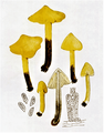 Bresadola - Hygrophorus tristis.png