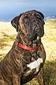 Brindle bullmastiff female.jpg