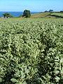 Broad bean field near Dawlish - geograph.org.uk - 199240.jpg