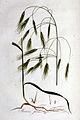 Bromus sterilis — Flora Batava — Volume v1.jpg