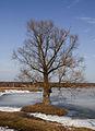 Bronnitsy lake tree Mar 2010 01.jpg