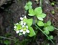 Brook Saxifrage Saxifraga rivularis (2728084115).jpg