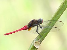 Brown-backed Red Marsh Hawk Orthetrum chrysis Male 2 by Kadavoor.jpg