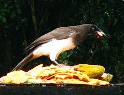 Brown Jay in Belize.jpg