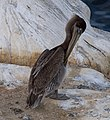 Brown pelican in La Jolla (70630).jpg