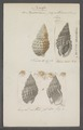 Buccinum papillosum - - Print - Iconographia Zoologica - Special Collections University of Amsterdam - UBAINV0274 085 07 0007.tif