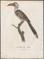Buceros erythrorhynchus - 1796-1808 - Print - Iconographia Zoologica - Special Collections University of Amsterdam - UBA01 IZ19300097.tif