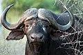 Buffalo, Kruger National Park, South Africa (14964096236).jpg
