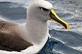 Buller's Albatross (25908797121).jpg
