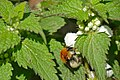 Bumblebee (Bombus sp.) on White Dead-nettle (Lamium album) (16587630164).jpg
