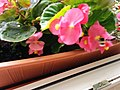 Bumblebee on Begonia x semperflorens-cultorum publicdomain tbf - 37.jpg