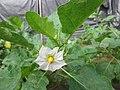 Bunga pada tanaman Solanum melongena.jpg