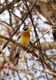 Bunting, Somali Golden-breasted.jpg