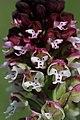 Burnt-tip Orchid - Neotinea ustulata - panoramio (27).jpg