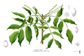 Burseraceae sp Blanco2.343.png