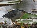 Butorides striata Garcita rayada Striated Heron (10761107934).jpg