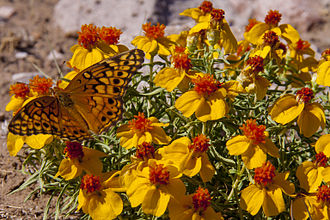 Hatch, New Mexico - Butterfly on desert zinnia, BLM Las Uvas Mountains Wilderness Study Area, 4 miles south of Hatch