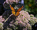 Butterfly on Sedum (11967088205).jpg