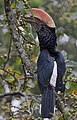 Bycanistes brevis -Mount Kenya, Kenya -male-8.jpg