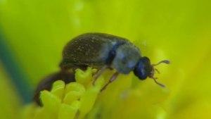 File:Byturus tomentosus - 2012-05-20.webm