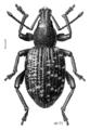 COLE Curculionidae Otiorhynchus sulcatus.png