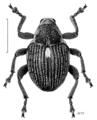 COLE Curculionidae Rhinoncus australis.png