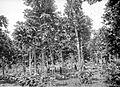 COLLECTIE TROPENMUSEUM Twaalf jaar oude Castilloa elastica rubberbomen op de onderneming Gogoniti bij Wlingi TMnr 10024160.jpg
