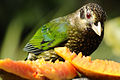 CSIRO ScienceImage 10941 Spotted Catbird Topaz QLD.jpg