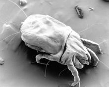House dust mite - Wikipedia