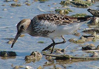 Second Severn Crossing - A dunlin feeding, one of the many waders that winter on the Severn estuary