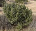 California-Juniper-2 (4558009105).png