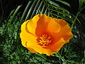 California Poppy Eschscholzia californica 03.jpg