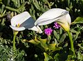 Calla lily (11709).jpg