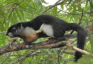 Callosciurinae - Prevost's Squirrel (Callosciurus prevostii)