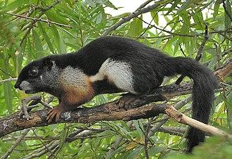 Prevost's squirrel - Image: Callosciurus prevosti