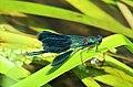 Calopteryx splendens (35475114850).jpg