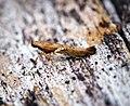 Caloptilia semifascia (31546987615).jpg