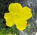 Calylophusdrum.jpg