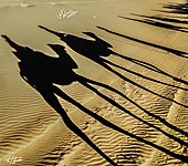Camel ride shadows at dusk (23817942422).jpg