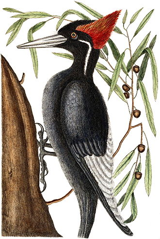 Mark Catesby - The ivory-billed woodpecker, which was sadly later to become extinct in North America, although one was reportedly sighted in the wild in Arkansas in 2005. Here the bird is shown in association with the willow oak,Quercus phellos. Plate from Natural History of Carolina, Florida and the Bahama Islands (1729–1747)